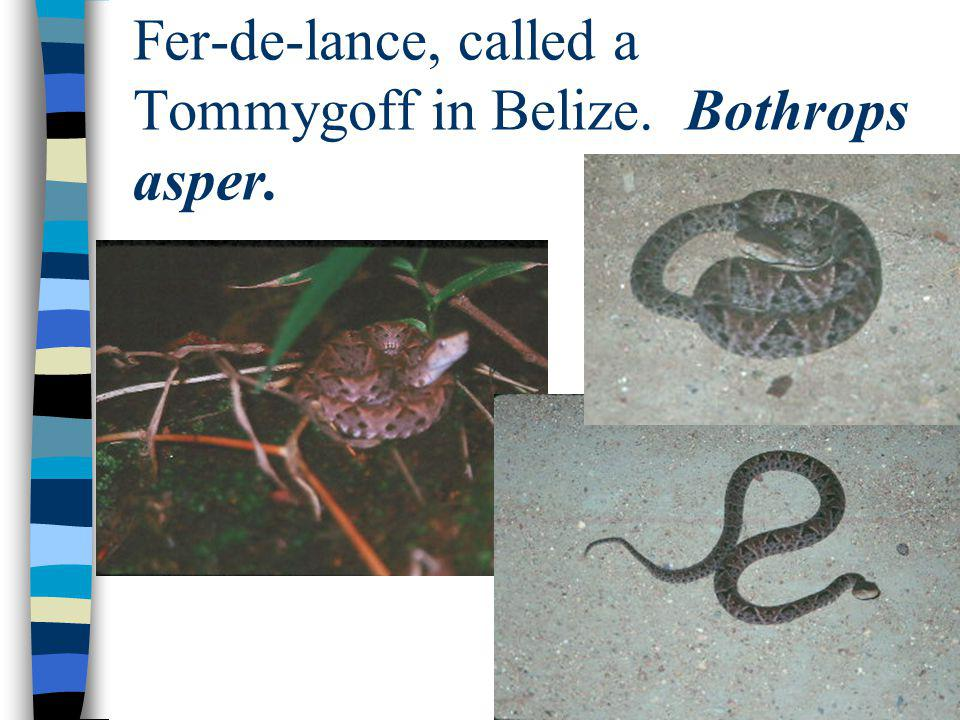 Indigo Snakes, or Crebos, are tan in Belize: Dr. Bob (l) & Alexandro Ack (r).