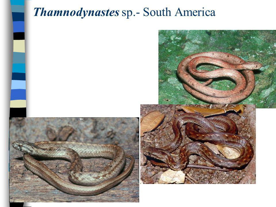 Thamnodynastes sp.- South America