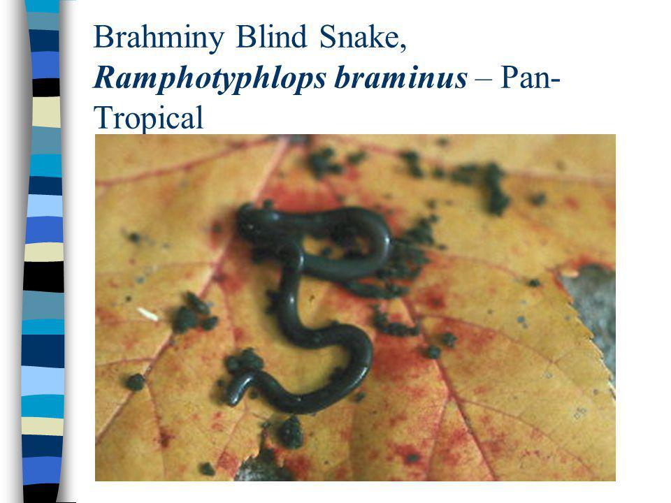 Brahminy Blind Snake, Ramphotyphlops braminus – Pan- Tropical