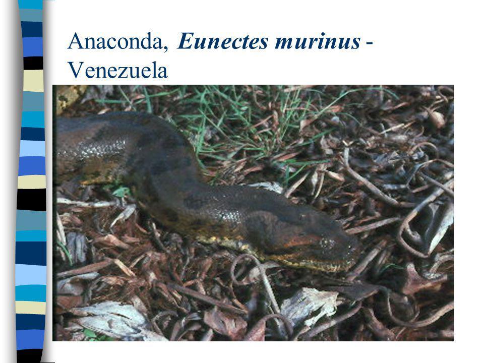 Anaconda, Eunectes murinus - Venezuela