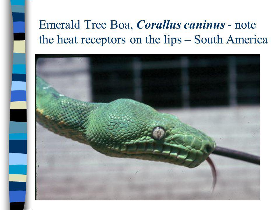 Emerald Tree Boa, Corallus caninus - note the heat receptors on the lips – South America