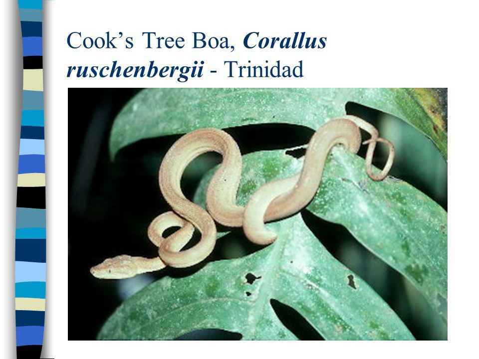 Cooks Tree Boa, Corallus ruschenbergii - Trinidad