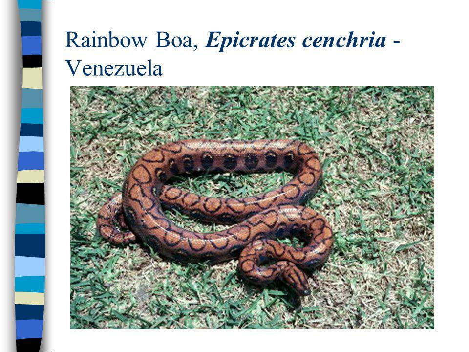 Rainbow Boa, Epicrates cenchria - Venezuela