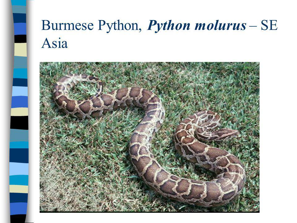 Burmese Python, Python molurus – SE Asia