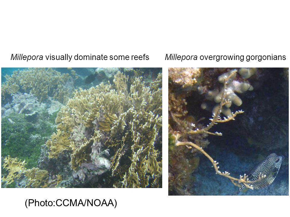 (Photo:CCMA/NOAA) Millepora visually dominate some reefsMillepora overgrowing gorgonians