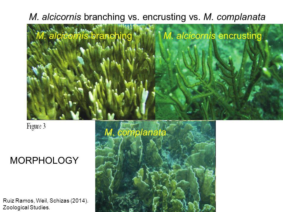 M. alcicornis branching vs. encrusting vs. M. complanata Ruiz Ramos, Weil, Schizas (2014). Zoological Studies. M. complanata M. alcicornis branchingM.