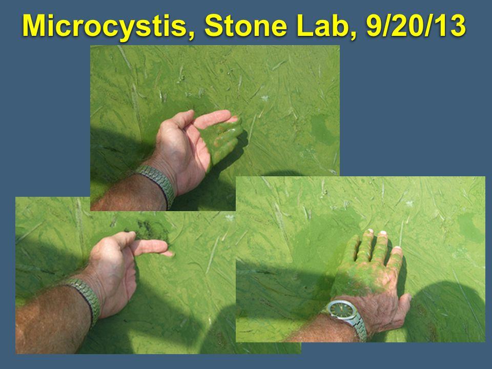 Microcystis, Stone Lab, 9/20/13