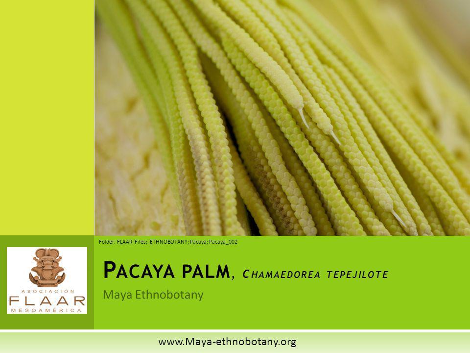 Maya Ethnobotany P ACAYA PALM, C HAMAEDOREA TEPEJILOTE www.Maya-ethnobotany.org Folder: FLAAR-Files; ETHNOBOTANY; Pacaya; Pacaya_002