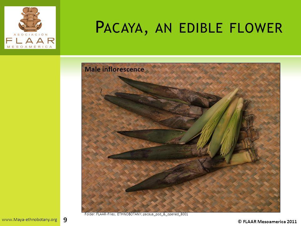 P ACAYA, AN EDIBLE FLOWER www.Maya-ethnobotany.org © FLAAR Mesoamerica 2011 Folder: FLAAR-Files; ETHNOBOTANY; pacaya_pod_&_opened_8001 Male infloresce