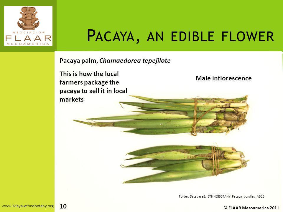 P ACAYA, AN EDIBLE FLOWER www.Maya-ethnobotany.org Pacaya palm, Chamaedorea tepejilote © FLAAR Mesoamerica 2011 Folder: Database2; ETHNOBOTANY; Pacaya