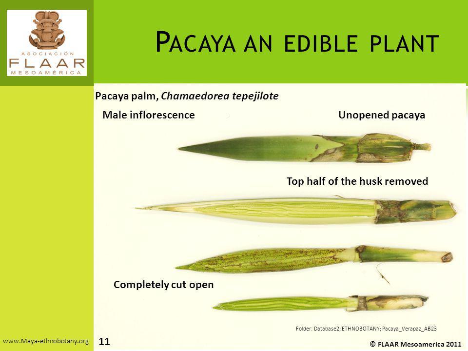 www.Maya-ethnobotany.org Pacaya palm, Chamaedorea tepejilote P ACAYA AN EDIBLE PLANT © FLAAR Mesoamerica 2011 Folder: Database2; ETHNOBOTANY; Pacaya_V