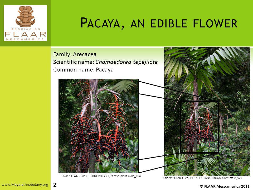 P ACAYA, AN EDIBLE FLOWER www.Maya-ethnobotany.org © FLAAR Mesoamerica 2011 Folder: FLAAR-Files; ETHNOBOTANY; Pacaya-plant-male_024 Family: Arecacea S