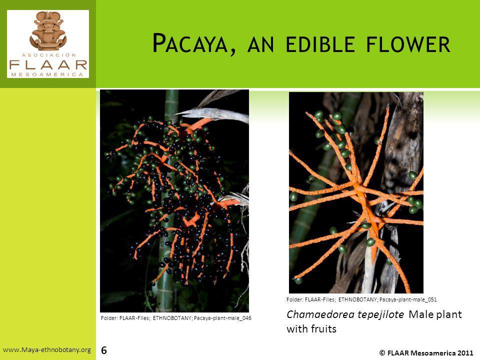 P ACAYA, AN EDIBLE FLOWER www.Maya-ethnobotany.org © FLAAR Mesoamerica 2011 Folder: FLAAR-Files; ETHNOBOTANY; Pacaya-plant-male_051 Folder: FLAAR-File