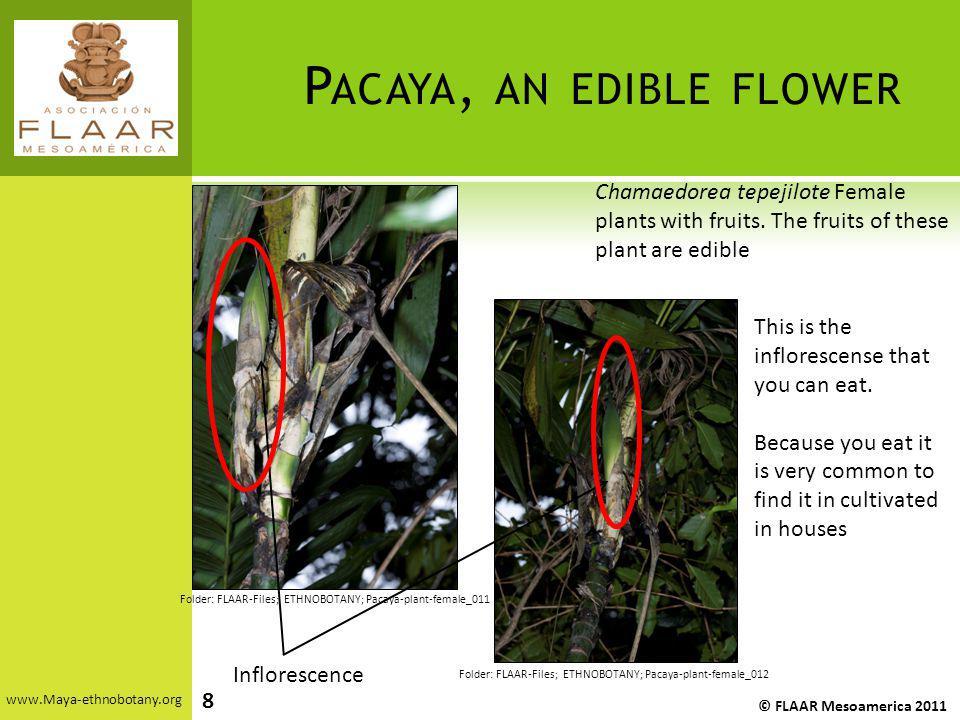 P ACAYA, AN EDIBLE FLOWER www.Maya-ethnobotany.org © FLAAR Mesoamerica 2011 Folder: FLAAR-Files; ETHNOBOTANY; Pacaya-plant-female_011 Folder: FLAAR-Fi