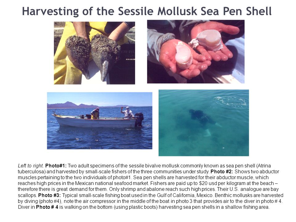 Harvesting of the Sessile Mollusk Sea Pen Shell Left to right.