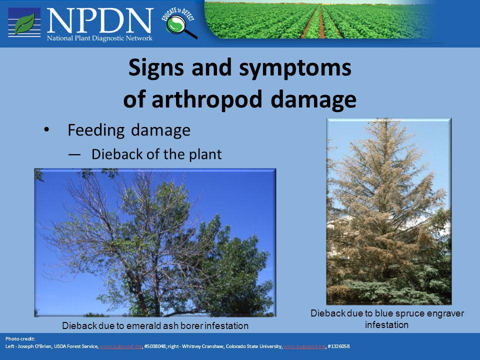 Signs and symptoms of arthropod damage Feeding damage Dieback of the plant Photo credit: Left - Joseph O'Brien, USDA Forest Service, www.bugwood.org,