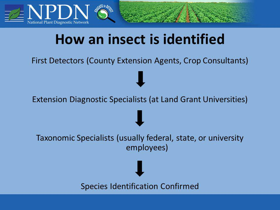 How an insect is identified First Detectors (County Extension Agents, Crop Consultants) Extension Diagnostic Specialists (at Land Grant Universities)
