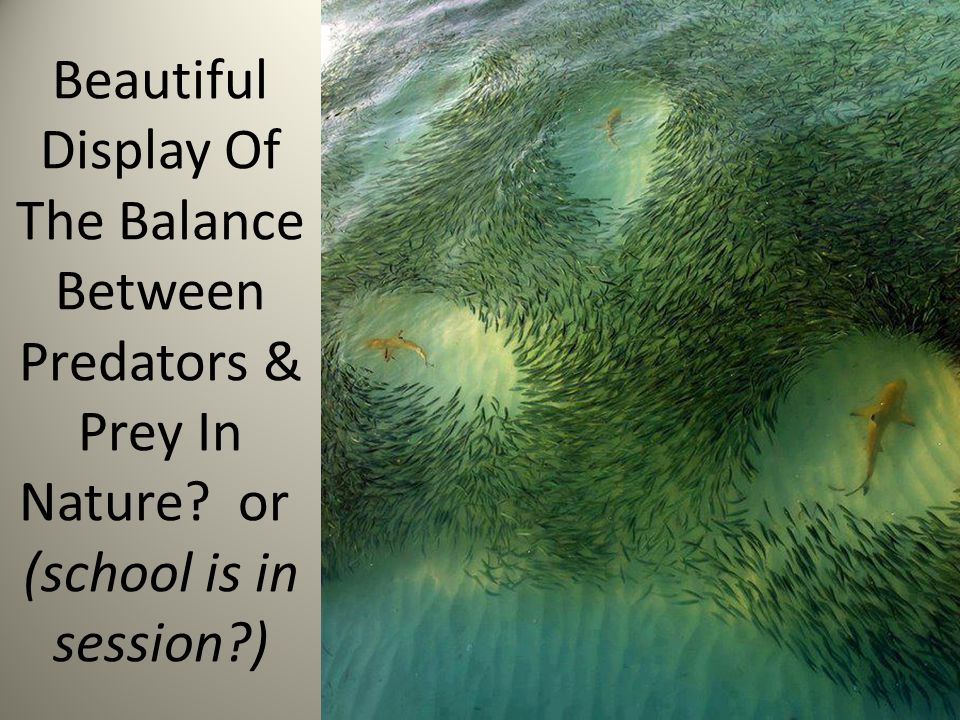 Beautiful Display Of The Balance Between Predators & Prey In Nature? or (school is in session?)