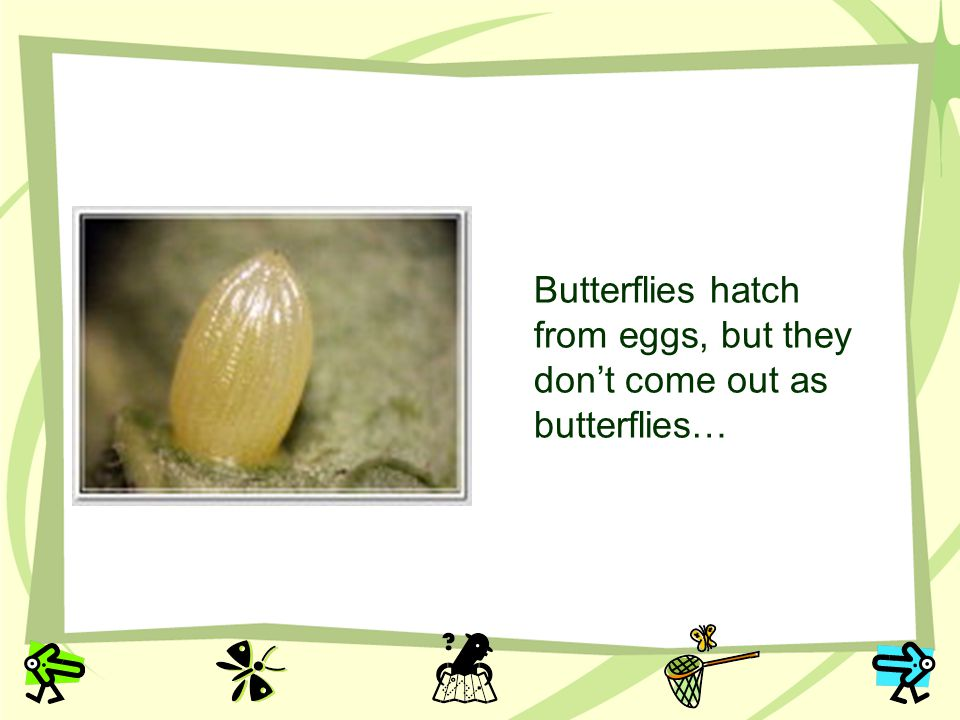 Butterflies hatch from eggs, but they dont come out as butterflies…