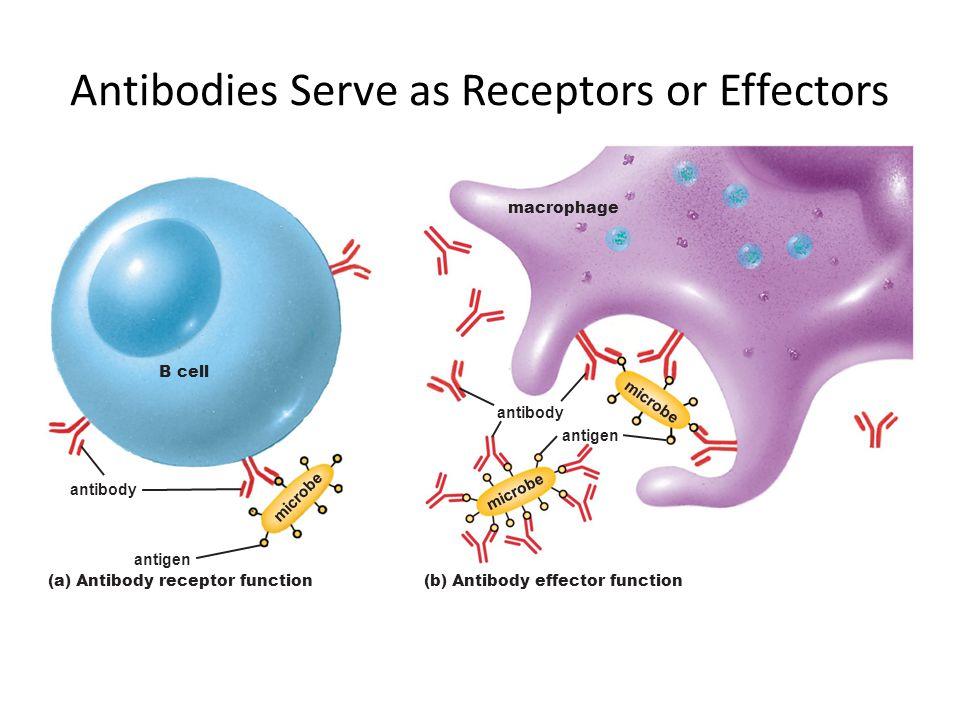 Antibodies Serve as Receptors or Effectors (a) Antibody receptor function B cell antibody antigen (b) Antibody effector function antibody antigen macr