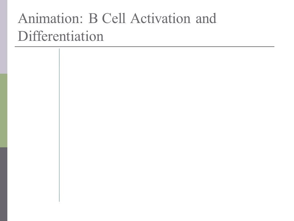 Animation: B Cell Activation and Differentiation