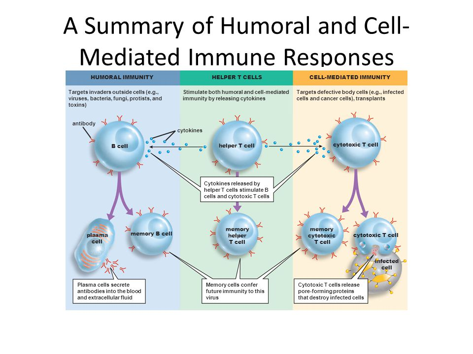 A Summary of Humoral and Cell- Mediated Immune Responses memory cytotoxic T cell memory helper T cell memory B cell infected cell cytotoxic T cell pla