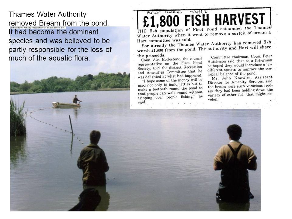 Thames Water Authority removed Bream from the pond.