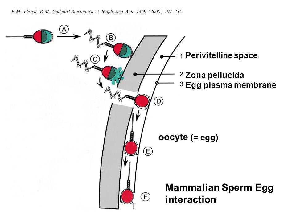 Sperm proteins identified as potential ligands for ZP receptors Galactosyl transferase (GalTase) Miller et al 1992 Zona Receptor Kinase (p95) Leyton & Saling 1989 Sp56 Bleil & Wassarman 1990 M42 Saling et al 1985 Zonadhesin Hardy & Garbers 1995 Mannose binding protein Cornwall et al 1991 Sp17 Richardson et al 1994 FA-1 Naz 1988 PLA2 Riffo and Parraga Sperm agglutinin 1 Diekman et al 1997 PH20 Cherr et al 2001 Acrosin Howes et al 2001 Spermadhesin Topfer-Petersen 2001 Well what happened.