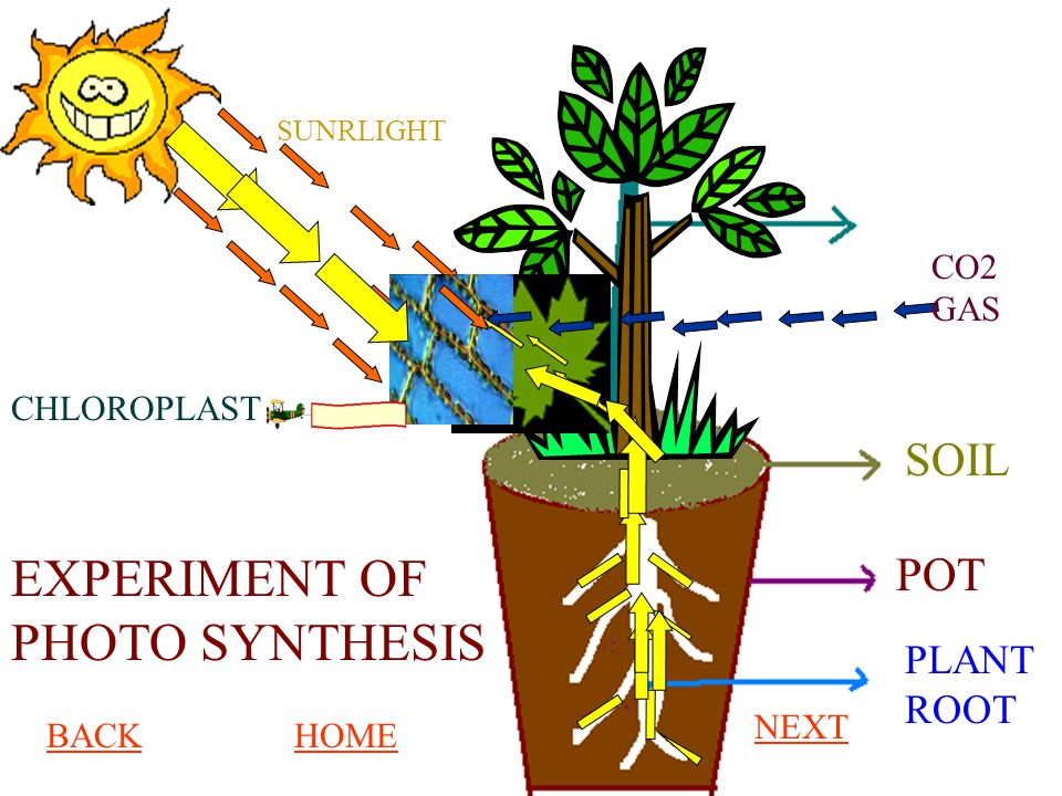 SOIL POT PLANT ROOT CO2 GAS SUNRLIGHT EXPERIMENT OF PHOTO SYNTHESIS CHLOROPLAST BACKHOME NEXT