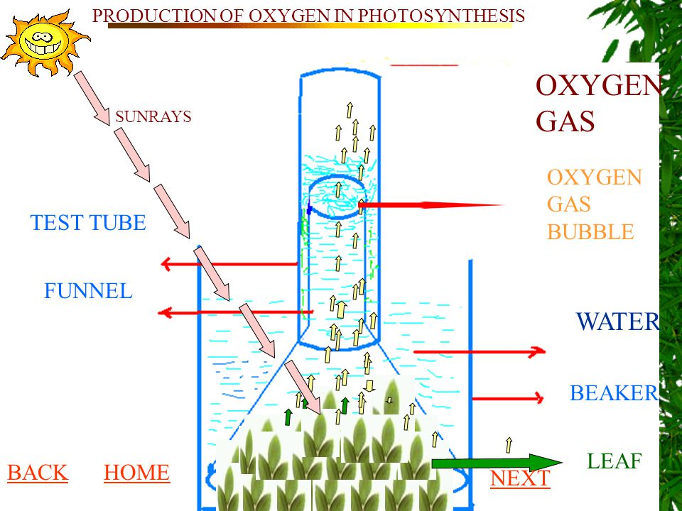 WATER BEAKER TEST TUBE FUNNEL LEAF OXYGEN GAS OXYGEN GAS BUBBLE SUNRAYS PRODUCTION OF OXYGEN IN PHOTOSYNTHESIS BACKHOME NEXT