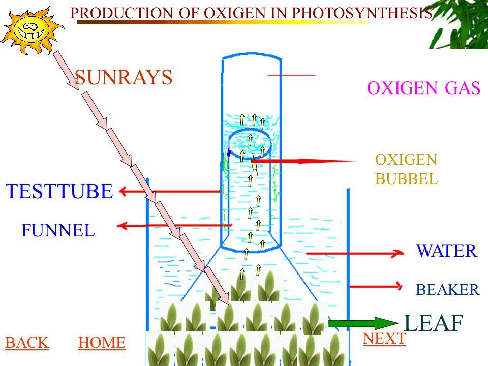 PRODUCTION OF OXIGEN IN PHOTOSYNTHESIS WATER BEAKER LEAF FUNNEL TESTTUBE OXIGEN BUBBEL OXIGEN GAS SUNRAYS BACKHOME NEXT
