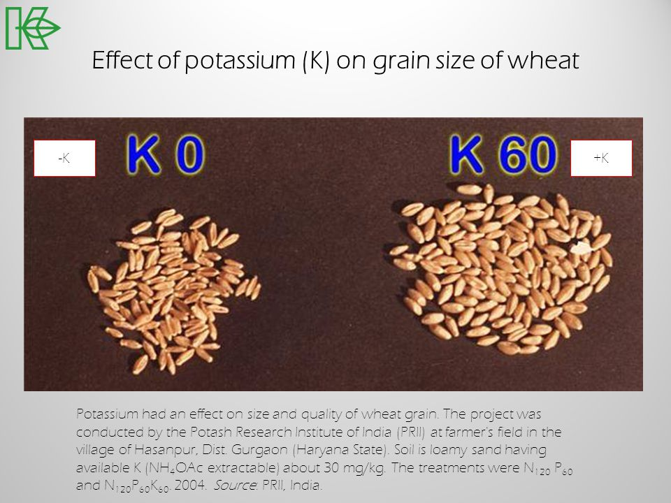 Effect of potassium (K) on grain size of wheat -K+K Potassium had an effect on size and quality of wheat grain. The project was conducted by the Potas