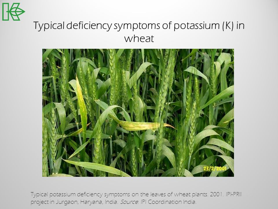 Typical deficiency symptoms of potassium (K) in wheat Typical potassium deficiency symptoms on the leaves of wheat plants. 2001. IPI-PRII project in J