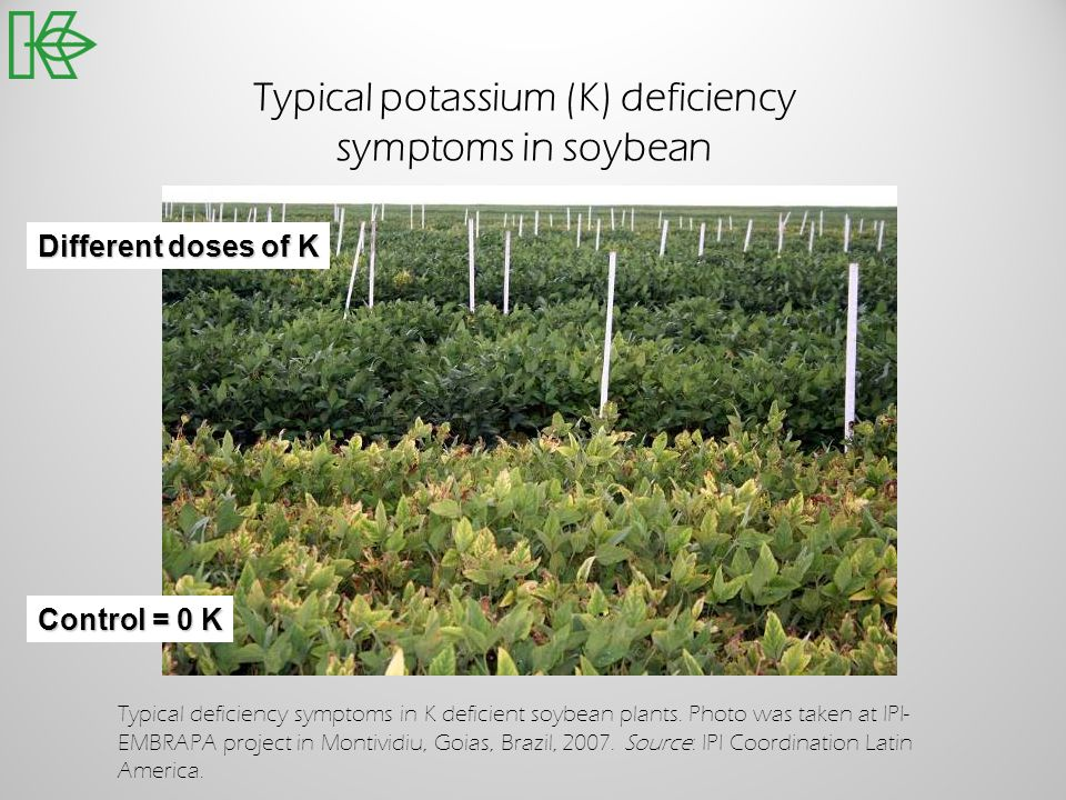 Typical potassium (K) deficiency symptoms in soybean Control = 0 K Different doses of K Typical deficiency symptoms in K deficient soybean plants. Pho