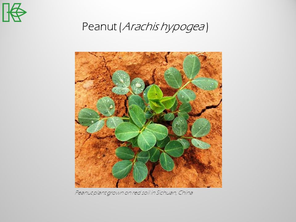 Peanut (Arachis hypogea ) Peanut plant grown on red soil in Sichuan, China