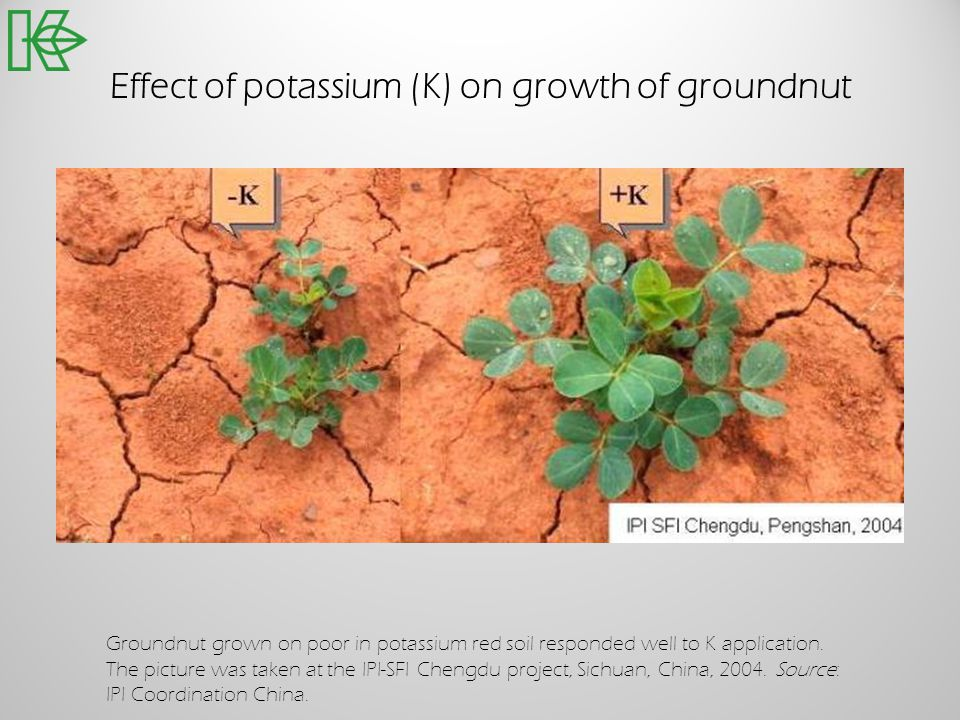 Effect of potassium (K) on growth of groundnut Groundnut grown on poor in potassium red soil responded well to K application. The picture was taken at