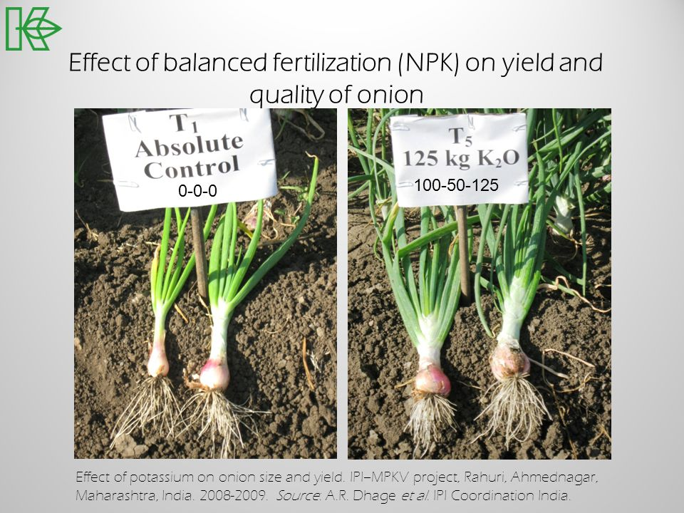 Effect of balanced fertilization (NPK) on yield and quality of onion Effect of potassium on onion size and yield. IPI–MPKV project, Rahuri, Ahmednagar