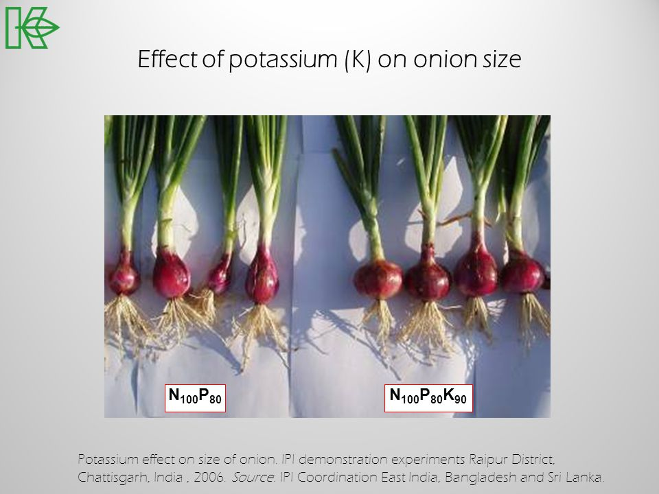 Effect of potassium (K) on onion size N 100 P 80 N 100 P 80 K 90 Potassium effect on size of onion. IPI demonstration experiments Raipur District, Cha