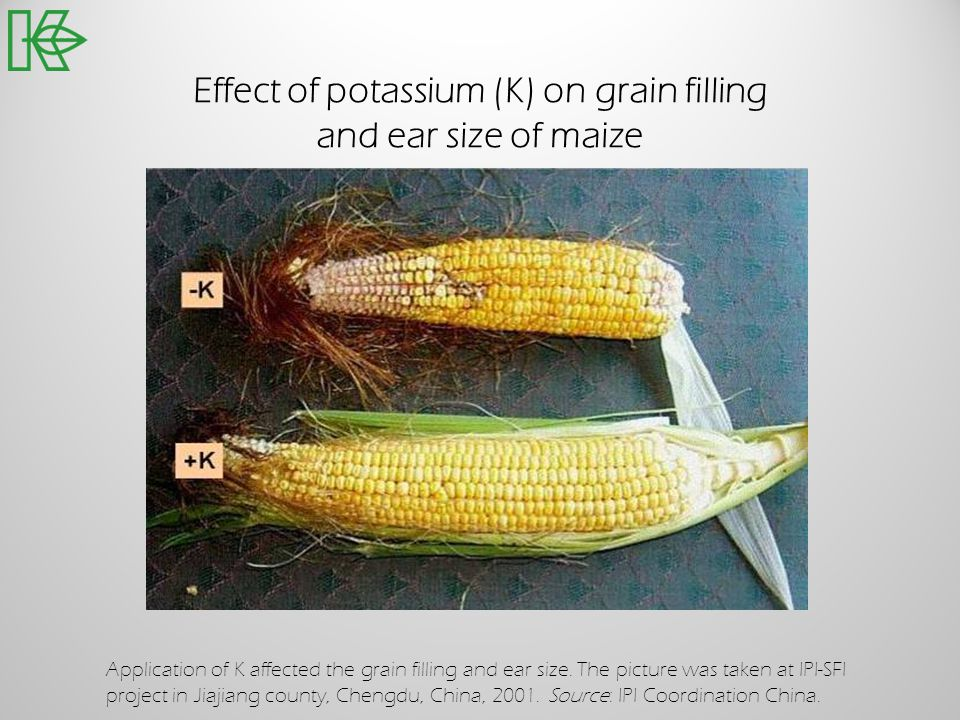 Effect of potassium (K) on grain filling and ear size of maize Application of K affected the grain filling and ear size. The picture was taken at IPI-