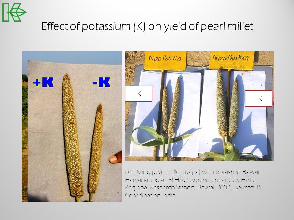 Effect of potassium (K) on yield of pearl millet -K +K Fertilizing pearl millet (bajra) with potash in Bawal, Haryana, India. IPI-HAU experiment at CC