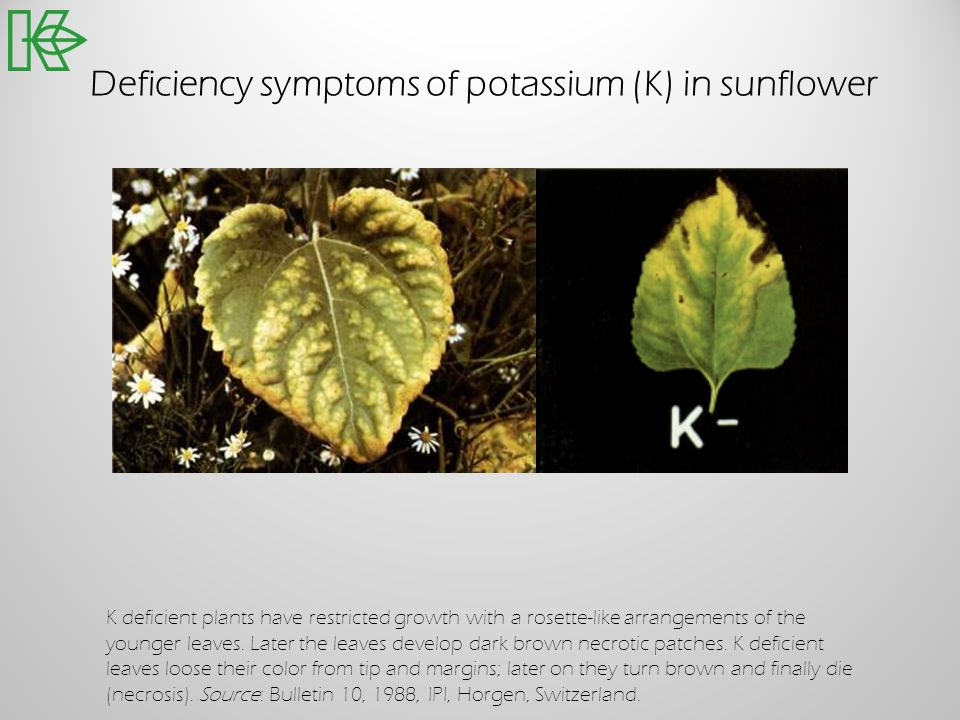 Deficiency symptoms of potassium (K) in sunflower K deficient plants have restricted growth with a rosette-like arrangements of the younger leaves. La