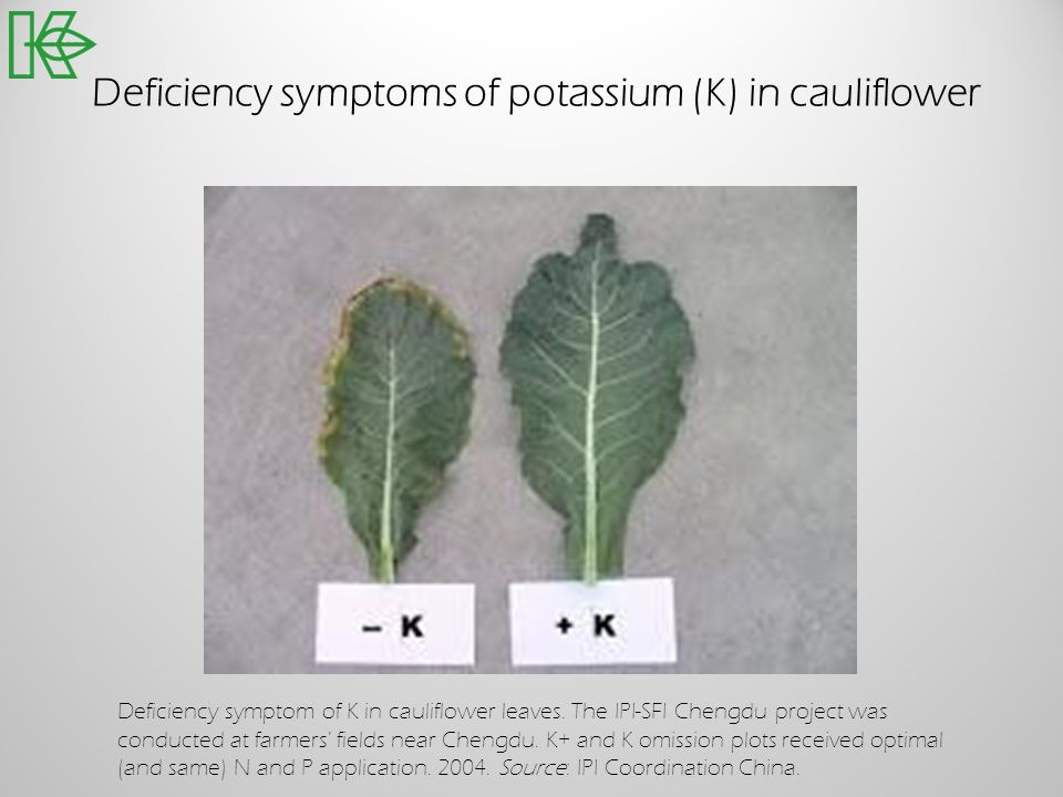Deficiency symptoms of potassium (K) in cauliflower Deficiency symptom of K in cauliflower leaves. The IPI-SFI Chengdu project was conducted at farmer