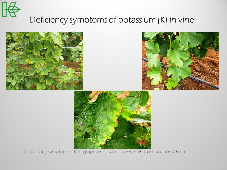Deficiency symptoms of potassium (K) in vine Deficiency symptom of K in grape vine leaves. Source: IPI Coordination China.