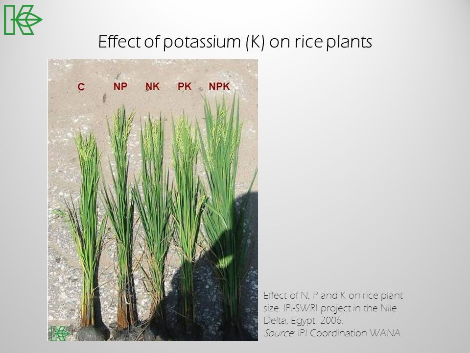 Effect of potassium (K) on rice plants Effect of N, P and K on rice plant size. IPI-SWRI project in the Nile Delta, Egypt. 2006. Source: IPI Coordinat