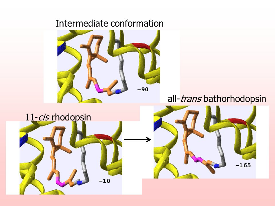 11-cis rhodopsin all-trans bathorhodopsin Intermediate conformation