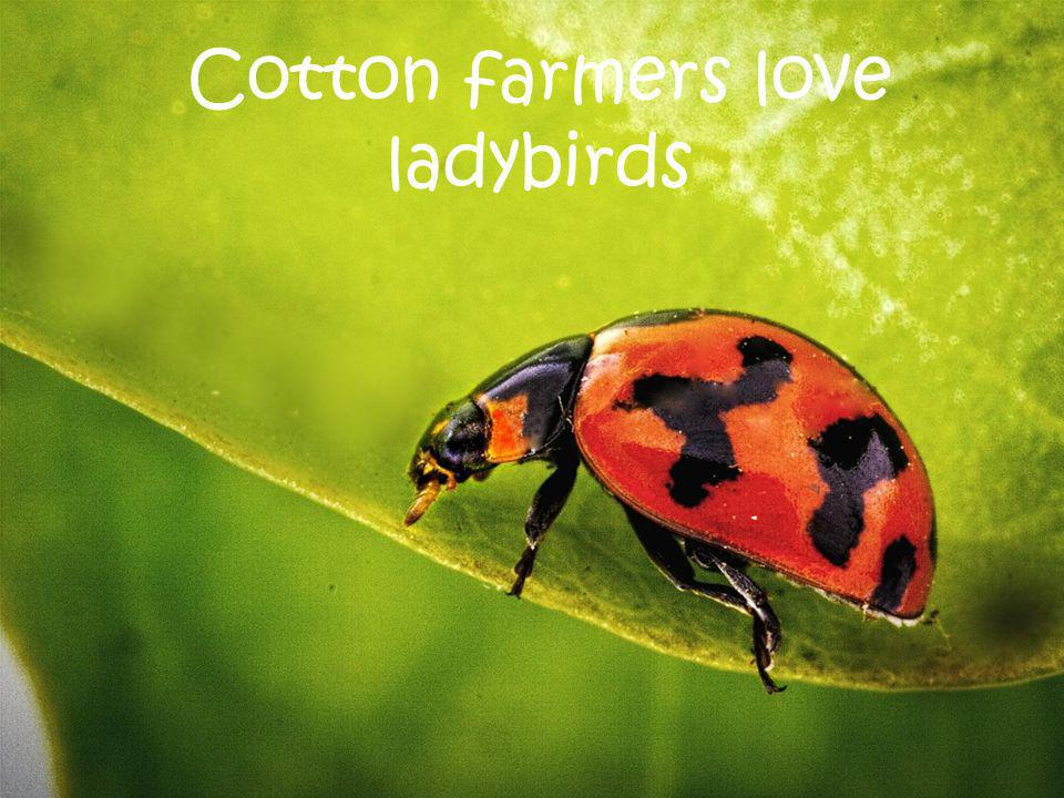 Cotton farmers love ladybirds