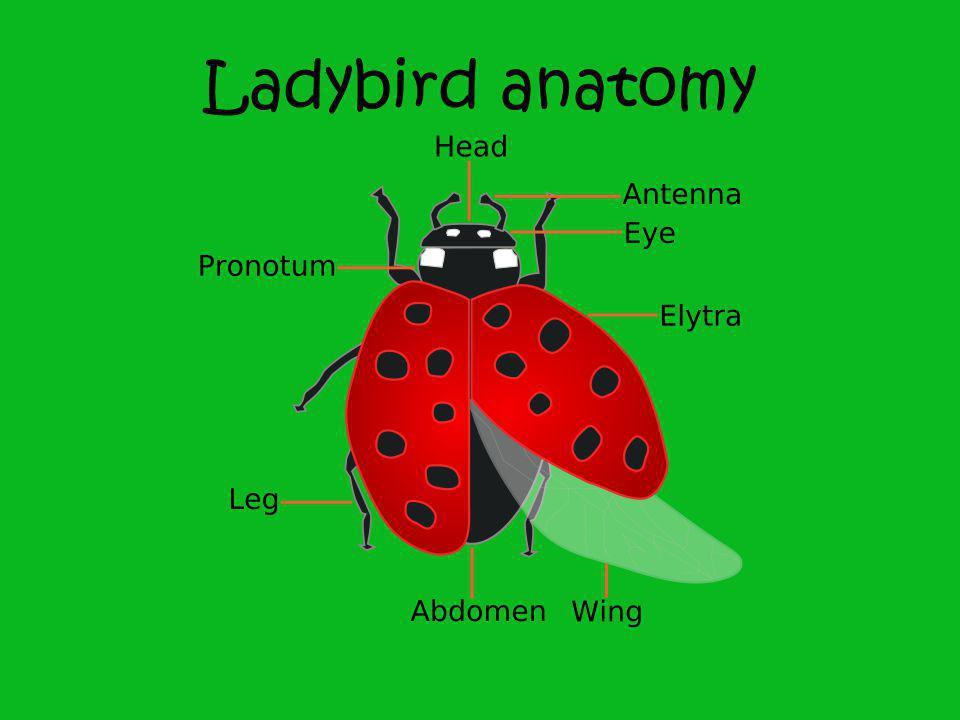 Ladybird anatomy