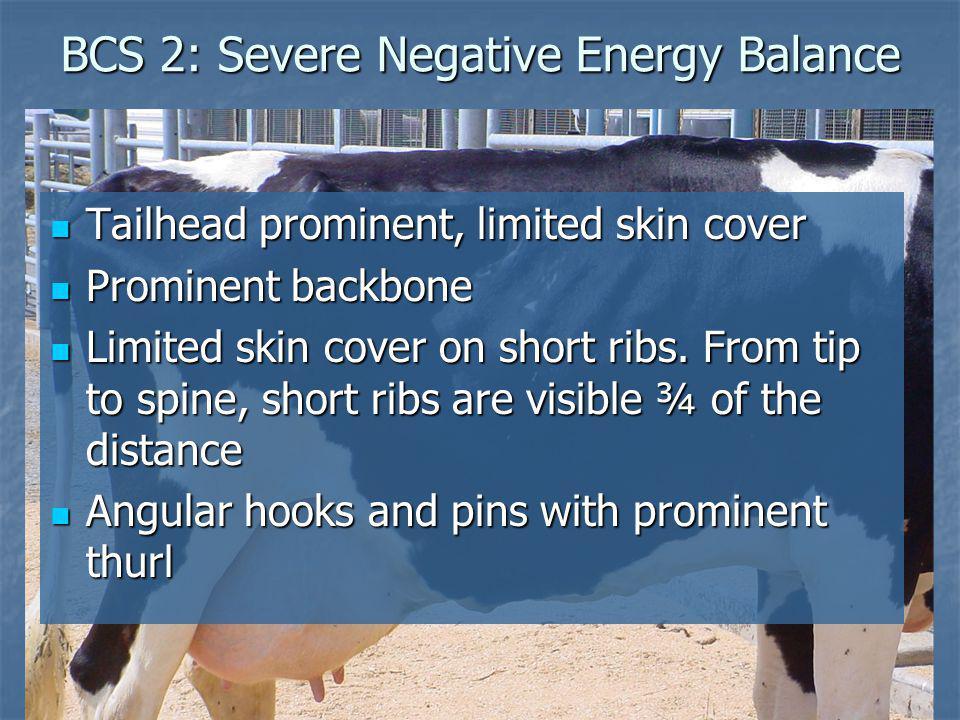 BCS 2: Severe Negative Energy Balance Tailhead prominent, limited skin cover Tailhead prominent, limited skin cover Prominent backbone Prominent backb