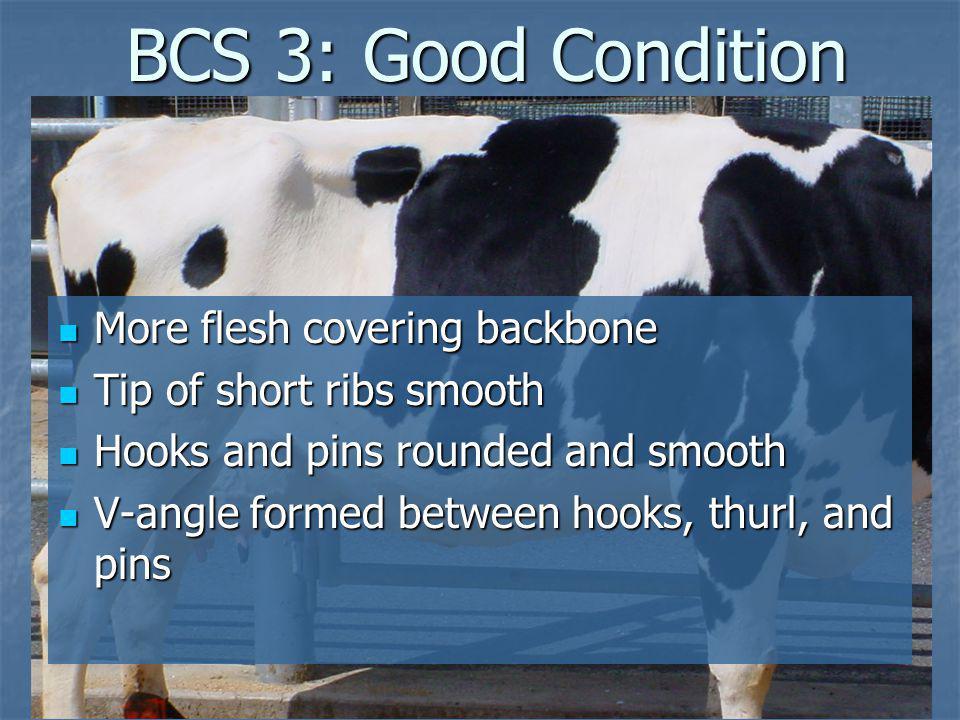BCS 3: Good Condition BCS 3: Good Condition More flesh covering backbone More flesh covering backbone Tip of short ribs smooth Tip of short ribs smoot