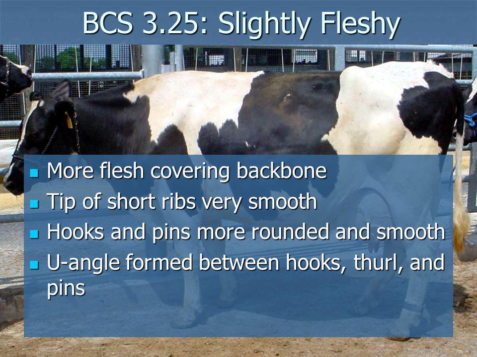 BCS 3.25: Slightly Fleshy BCS 3.25: Slightly Fleshy More flesh covering backbone More flesh covering backbone Tip of short ribs very smooth Tip of sho